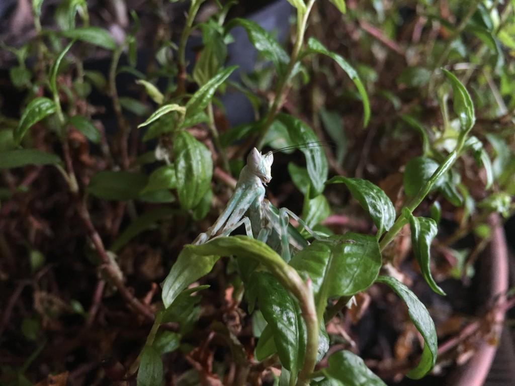 Asiatischer Blütenmantis in Vietnamesischem Koriander